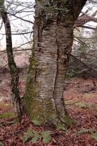 Betula allegheniensis