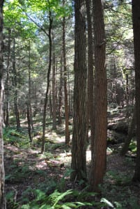 Large hemlocks