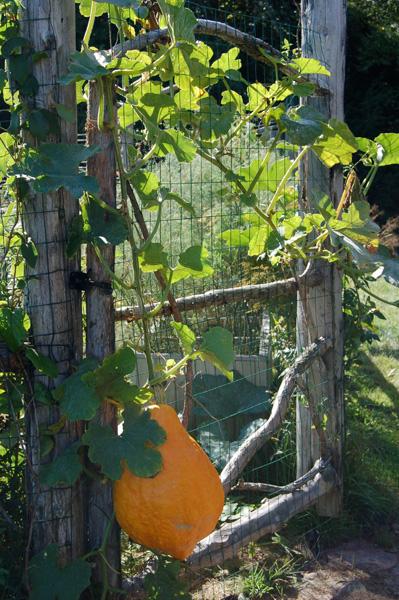 Squash climbing the gate