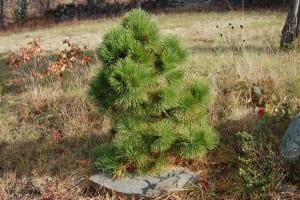 Pinus rigida 'Sherman Eddy'