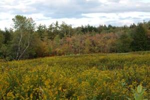 Golderod meadow
