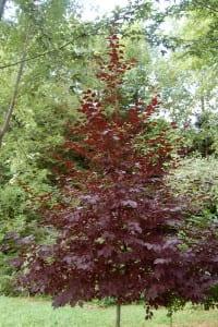 Prunus virginiana 'Schubert's Red'
