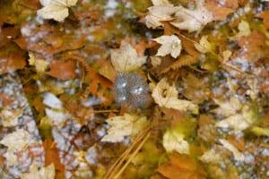 wood frog eggs