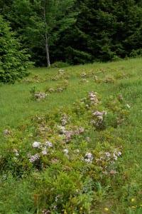 Kalmia latfolia