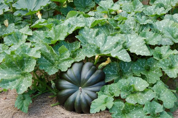 Tonda padana pumpkin