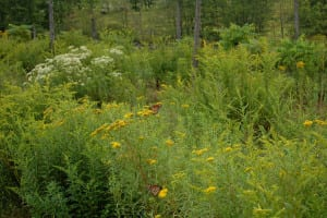 Meadow with Monarchs