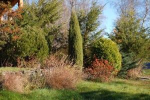Ilex glabra, Juniperus communis 'Hibernica' and Thuja occidentalis 'Rockwood Gold'