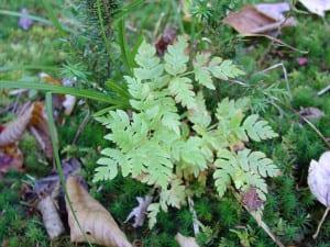 fern in Hemlock forest