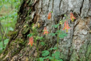 Wild columbine or rock bells, Aquilegia canadensis, growing at the base of this tree trunk.
