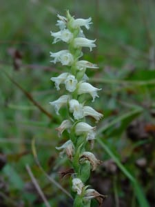 Spiranthes sp.