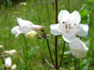 Foxglove beardtongue, Penstemon digitalis