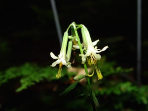 Wild lettuce, Prenanthes sp.? blooms in the Hemlock Woods.
