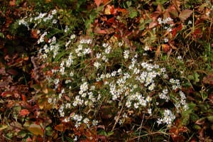 Another small white aster, possibly calico aster? Someone needs to come and sort these confusing white asters out.
