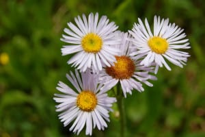 Robin's plantain, Erigeron pulchellus, can form a carpet of woolly basal leaves with pink daisies less than a foot tall in spring.