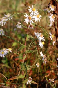 Late purple aster, Aster patens, uncommon in our meadows