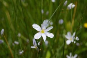A white blue-eyed grass, Sisyrinchium sp.