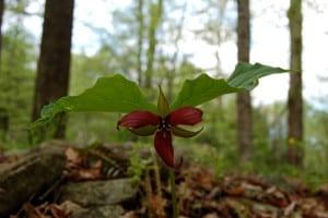Our mascot, Trillium erectum.