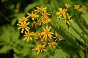 Golden groundsel, Packer aurea, grows in damp openings in the Hemlock Forest.