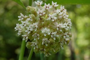 A bicolored form of common milkweed, mostly white, with a pink center