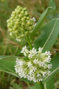 A white form of common milkweed.