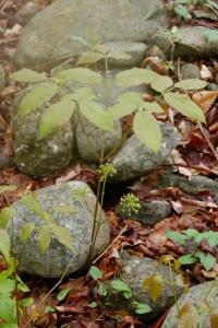 wild sarsaparilla, Aralia nudicaulis, ready to bloom