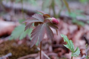Wood anemone, Anemone quinquefolia, just up, with purple tinted leaves and bud; flower will blossom white.
