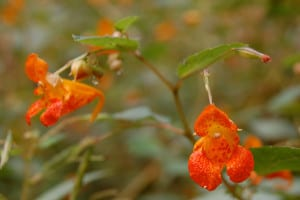 Close up of jewelweed , Impatiens capensis, blossoms