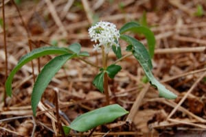Dwarf ginseng, Panax trifolius, is a diminutive relative of the well-known herb ginseng.