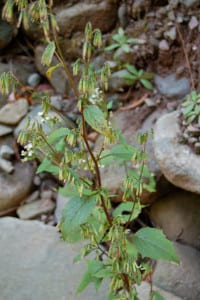 Wild lettuce, Prenanthes sp?, rooted in stony soil along a rocky streambank.