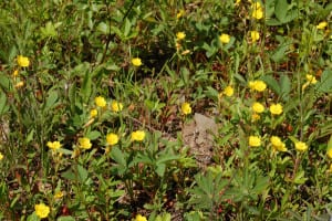 Small sundrops, Oenothers perennis, grow only a few inches high in dry sandy soil.