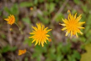 Close-up of orange dandelion