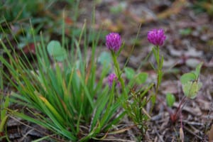 Purple milkwort, Polygala sanguinea, blooms in late summer through early fall.