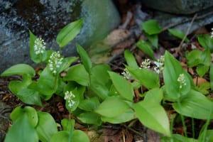 Canada mayflowers, Maianthemum canadense, carpet the forest floor.