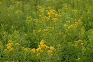 Grass-leaved goldenrod, Euthamia graminifolia, forms large clonal, sometimes circular, patches in the meadows.