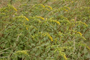 Mystery Goldenrod, Solidago, possibly ulmifolia? Lovely arching form grows in small patches in the meadows.