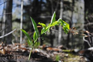 Smooth Solomon's seal, Polygonatum biflorum, displays a graceful, arching form.