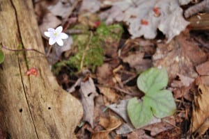 Sharp-lobed hepatica, or liver-leaf, Hepatica acutiloba, maybe our earliest bloomer, still hanging on to last year's evergreen leaf