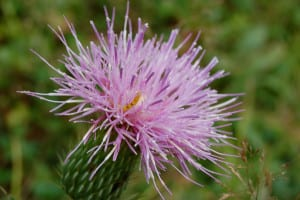 Pasture thistle, Cirsium pumilum, with yellow caterpillar.