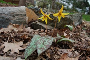 Trout lilies, Erythronium americanum, one of our earliest spring wildflowers, found in damp, seepy woods.
