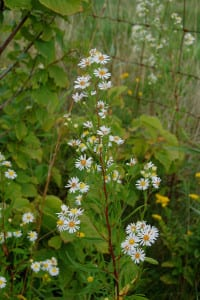 Tall white aster, Aster simplex, at home in the meadows, but harder to find.