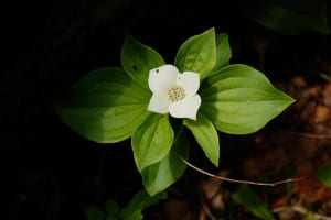 Bunchberry, Cornus canadensis, grows at the western edge of the bog.