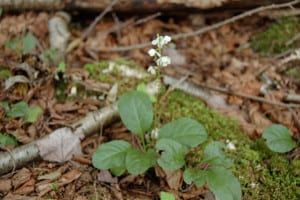 Common shinleaf, Pyrola elliptica, grows in the Hemlock forest.