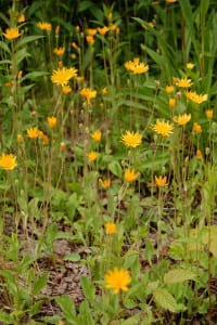 Orange dwarf dandelion, Krigia biflora
