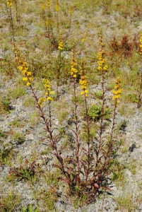 Downy goldenrod, Solidago puberula, grows on this xeric site which was stripped of topsoil.
