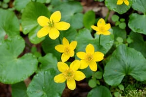 Marsh marigold, Caltha palustris, blossoms