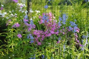 Campanulastrum americanum, tall bluebells and garden phlox, P. paniculata