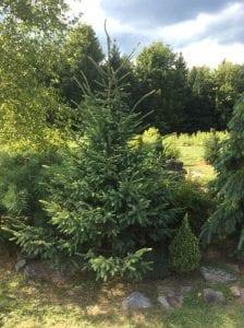Opus Pinus Picea mariana Aureomarginata