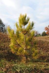 Pinus resinosa Aurea