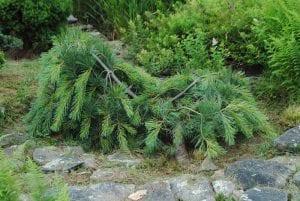 Pinus strobus Ottowa