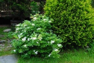 Rhododendron arborescens 'White Lightening""